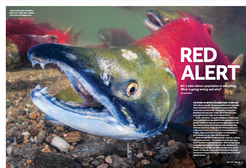 Red Alert – sockeye salmon are struggling