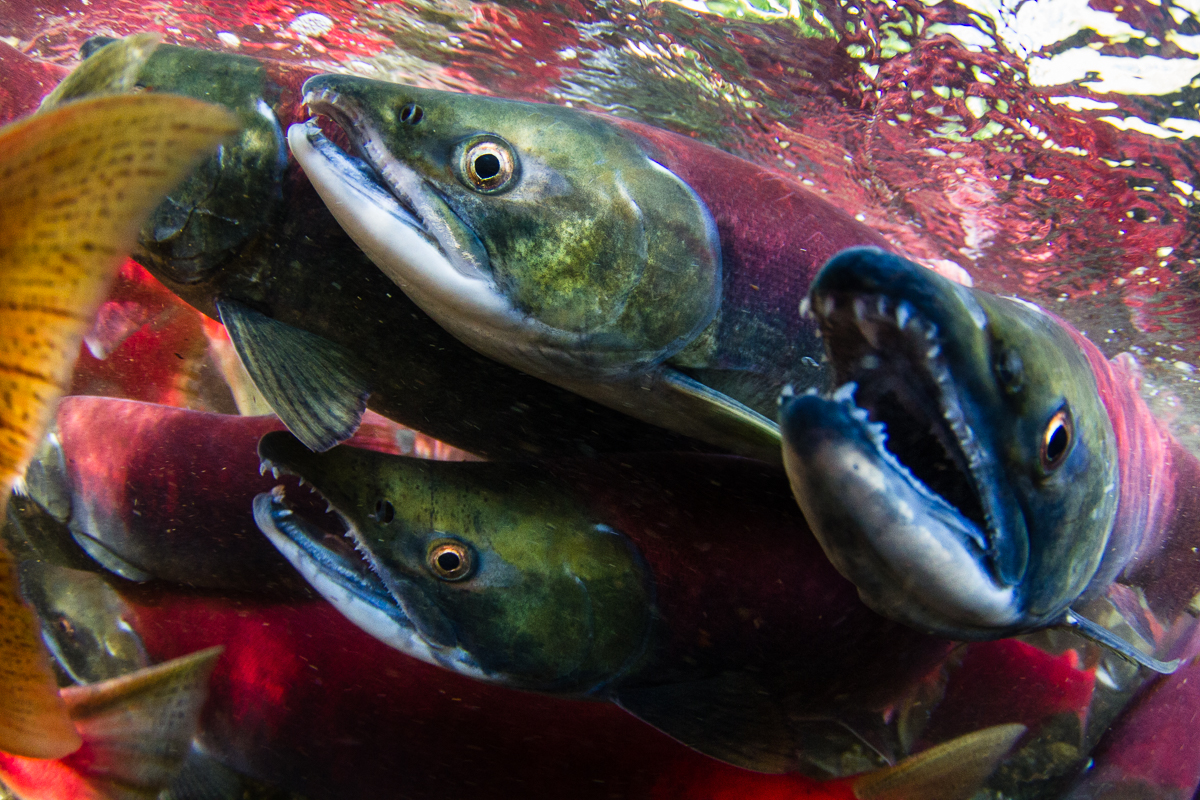 Red Rivers – sockeye salmon and their struggle for survival