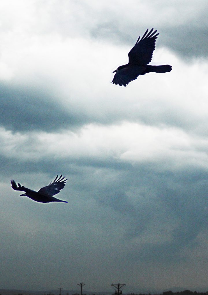 Crows are taking over our cities: Should we be worried?
