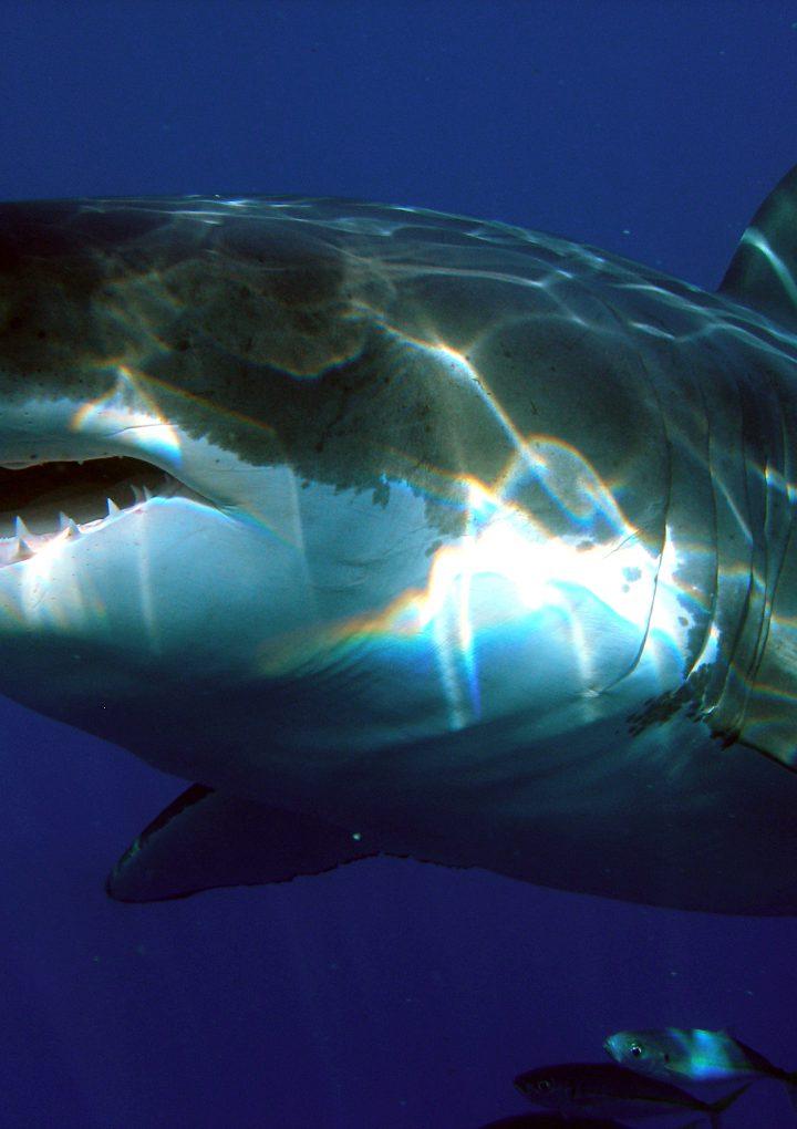Canada, meet Lydia, the great white shark