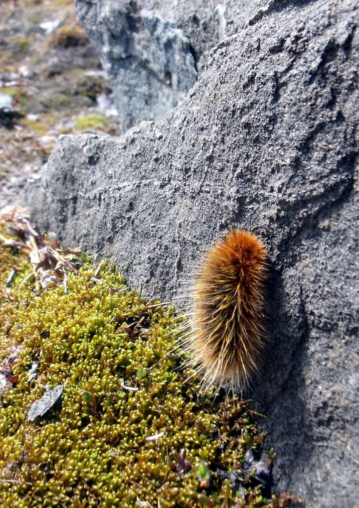 Sleeping in like an Arctic woolly bear moth