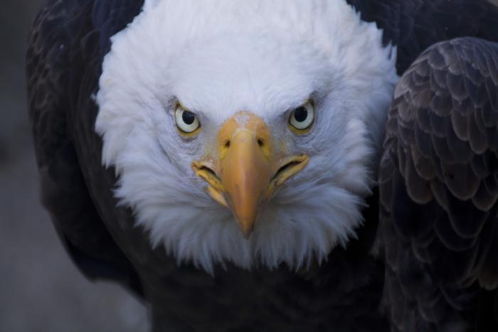 Bald eagles soaring in Canada's skies