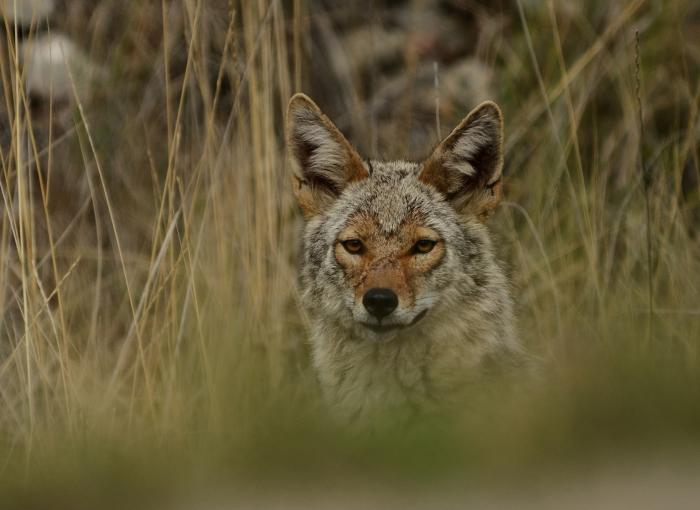 Coyotes are coming closer