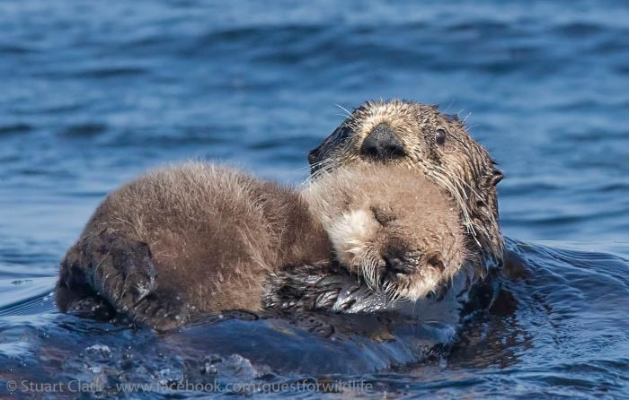 The two sides of sea otters