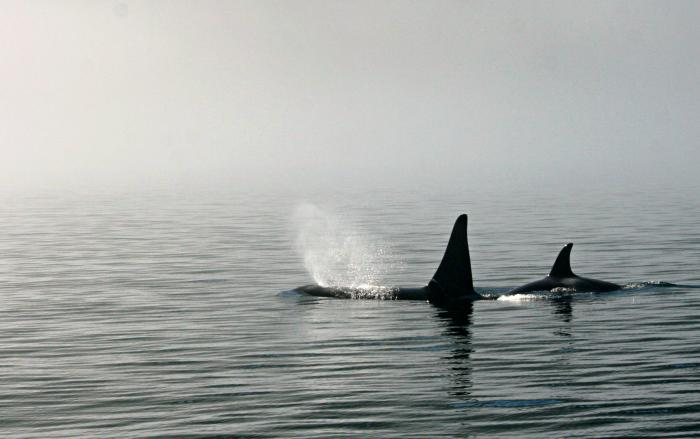 Killer whales making themselves at home in Arctic