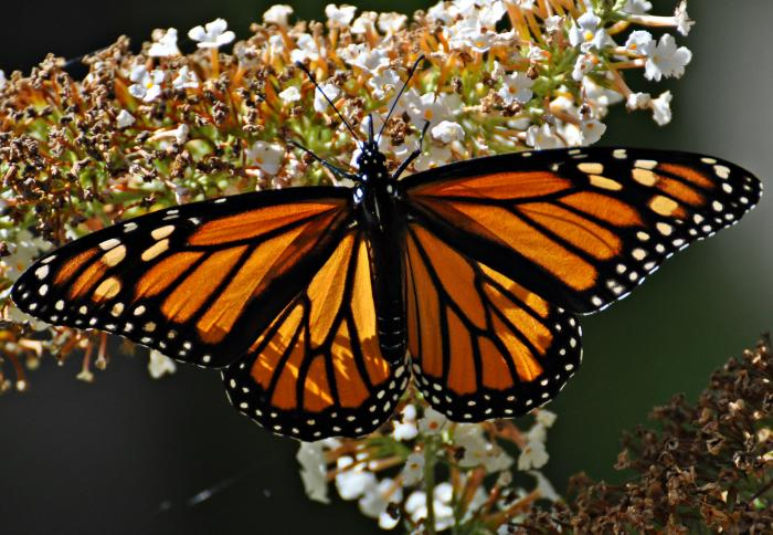 The clock is ticking for the monarch butterfly